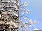 桜が咲いたねぇ。