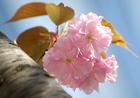 八重桜にバトンタッチ